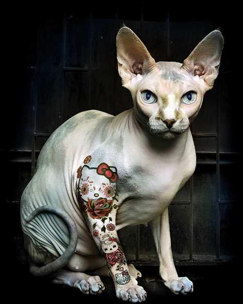 dövmeli hayvanlar tattooed cat